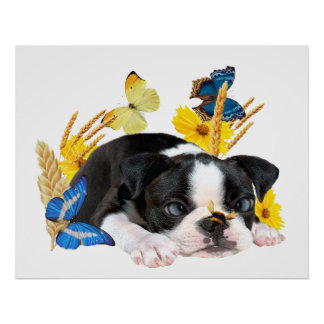 Bumble Bee Lands On Nose of Boston Terrier Poster