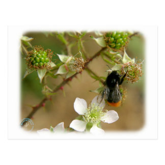 Bumble Bee on a Bramble 9Y042D-007 Postcards