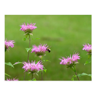 Bumble Bee on Bee Balm Flower Postcard