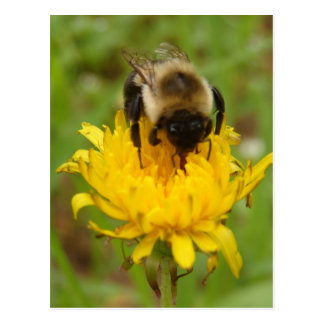 Bumble Bee on Yellow Dandelion Postcard