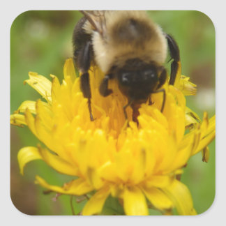 Bumble Bee on Yellow Dandelion Square Sticker