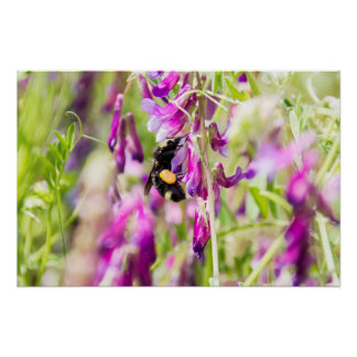 Bumble Bee Pollinating Sweet Pea Flowers Poster