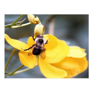 Bumblebee On Cassia Flower Postcard