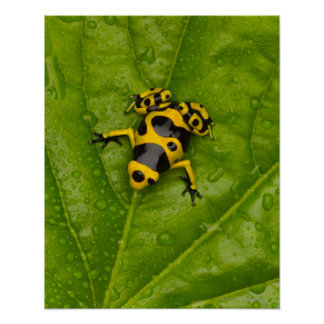 Bumblebee Poison Dart Frog Poster