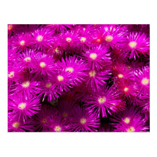 Bunch of Pink Aster Flowers Postcard
