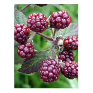 Bunch of Unripe Blackberries Postcard