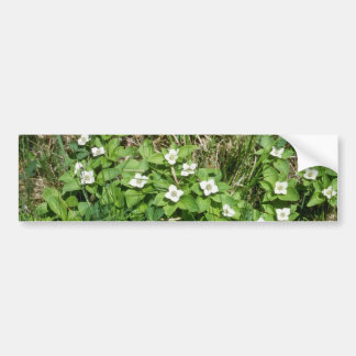 Bunchberry Cornus Canadensis flowers Bumper Sticker
