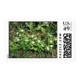 Bunchberry (Cornus Canadensis) flowers Postage Stamp