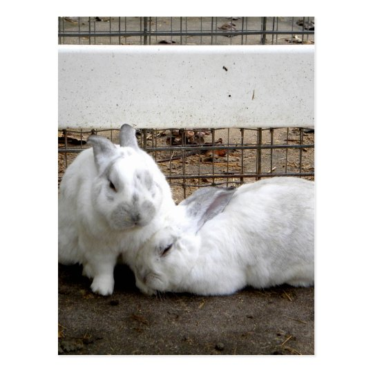 Bunny Couple Postcard