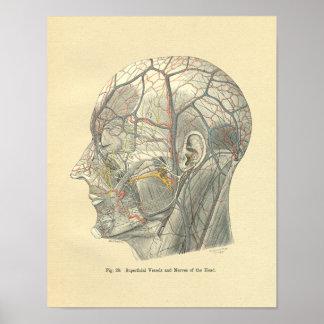 Buques anatómicos de Frohse del vintage de la cabe Posters