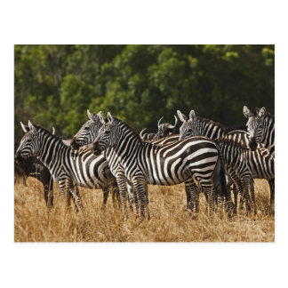 Burchell s Zebras Equus Burchellii as seen in Post Cards