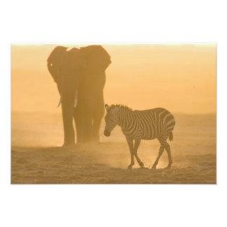 Burchelli de la cebra común, del Equus, y elefante Fotografía