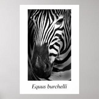 Burchelli del Equus de la cebra #1 Póster