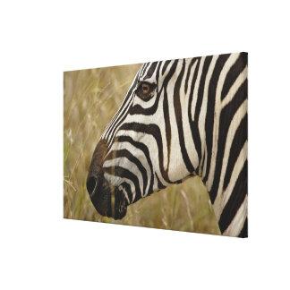 Burchelli's Zebra, Equus burchellii, Masai Canvas Print
