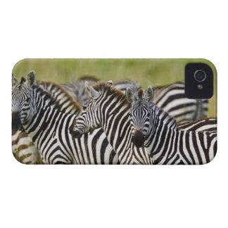 Burchelli's Zebra, Equus burchellii, Masai Mara, 2 iPhone 4 Case-Mate Cases