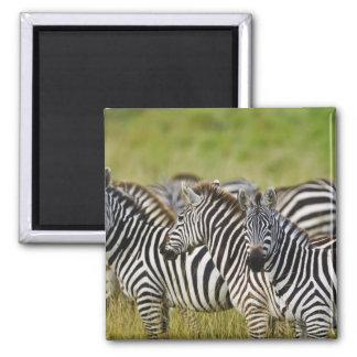 Burchelli's Zebra, Equus burchellii, Masai Mara, 2 Magnets