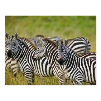 Burchelli's Zebra, Equus burchellii, Masai Mara, 2 Postcard