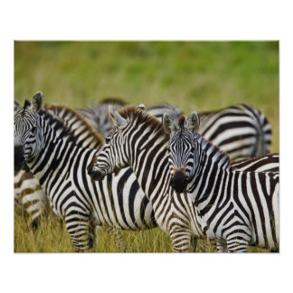 Burchelli's Zebra, Equus burchellii, Masai Mara, 2 Poster
