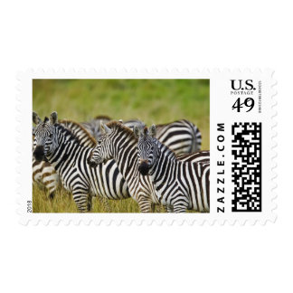 Burchelli's Zebra, Equus burchellii, Masai Mara, 2 Stamp
