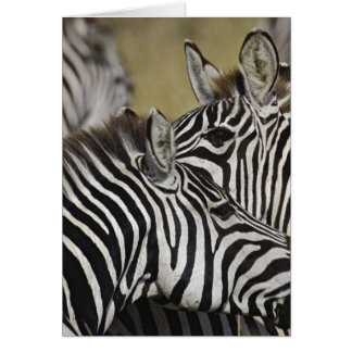 Burchelli's Zebra, Equus burchellii, Masai Mara, 3 Card