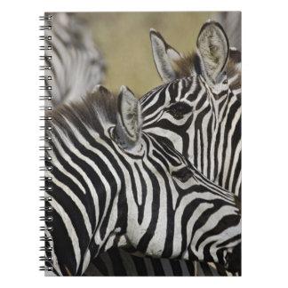 Burchelli's Zebra, Equus burchellii, Masai Mara, 3 Notebook