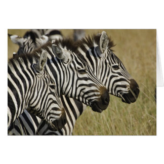 Burchelli's Zebra, Equus burchellii, Masai Mara, 4 Card