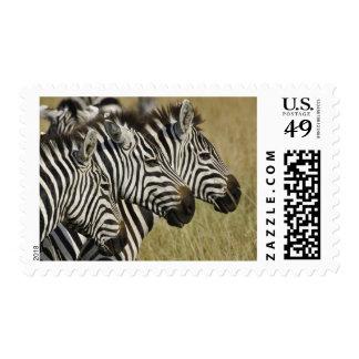 Burchelli's Zebra, Equus burchellii, Masai Mara, 4 Postage Stamp