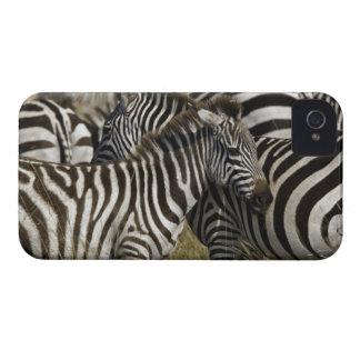 Burchelli's Zebra, Equus burchellii, Masai Mara, iPhone 4 Case-Mate Cases