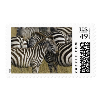 Burchelli's Zebra, Equus burchellii, Masai Mara, Postage Stamp