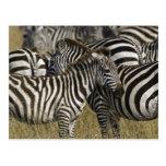 Burchelli's Zebra, Equus burchellii, Masai Mara, Postcard