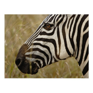 Burchelli's Zebra, Equus burchellii, Masai Postcard