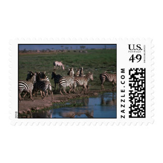 Burchell's/Grant's Zebra - Herd Stamping Away From Stamps