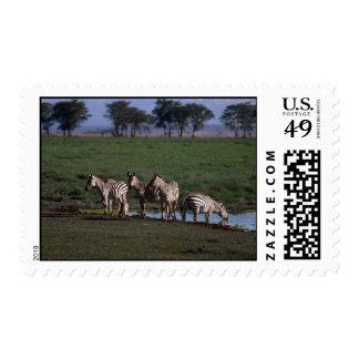 Burchell's/Grant's Zebras - Herd Drinking Postage Stamp