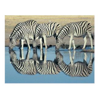 Burchells Zebra (Equus burchelli) drinking at Postcard