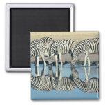 Burchells Zebra (Equus burchelli) 2 Inch Square Magnet