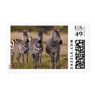 Burchell's Zebra, Equus burchellii, Masai Mara, Postage Stamp