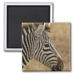 Burchell's Zebra, Equus burchellii, Ngorongoro 2 Inch Square Magnet