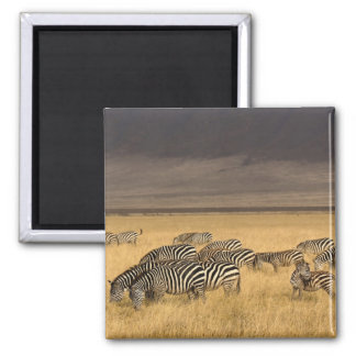 Burchell's Zebra, Equus burchellii, Ngorongoro Magnet
