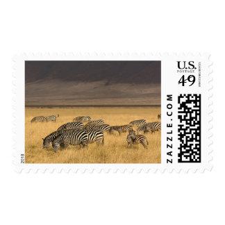 Burchell's Zebra, Equus burchellii, Ngorongoro Postage Stamp