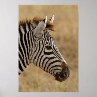 Burchell's Zebra, Equus burchellii, Ngorongoro Posters