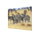 Burchell's Zebra, Equus burchellii, Tarangire Canvas Print