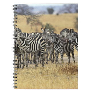 Burchell's Zebra, Equus burchellii, Tarangire Notebook