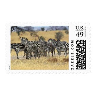 Burchell's Zebra, Equus burchellii, Tarangire Stamp