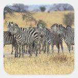Burchell's Zebra, Equus burchellii, Tarangire Square Sticker