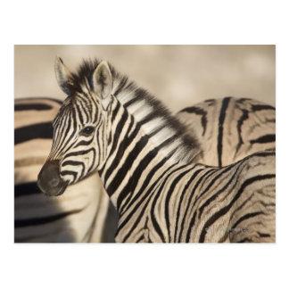Burchell's Zebra (Equus quagga burchellii) foal Postcard