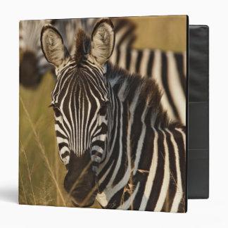 Burchell's Zebra in tall summer grass, Masai Binders