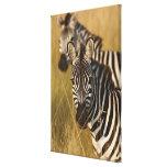 Burchell's Zebra in tall summer grass, Masai Canvas Print