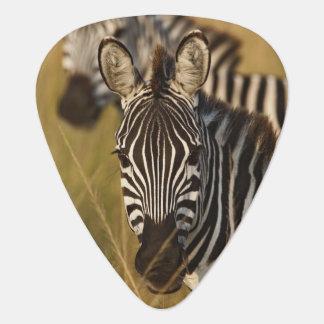 Burchell's Zebra in tall summer grass, Masai Guitar Pick