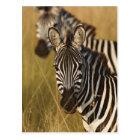 Burchell's Zebra in tall summer grass, Masai Postcard