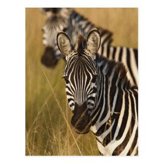 Burchell's Zebra in tall summer grass, Masai Post Cards